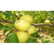 Golden Elma Fidanı