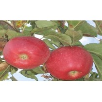 Gala Elma Fidanı